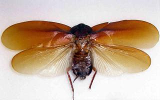 Летают ли тараканы и есть ли крылья у них