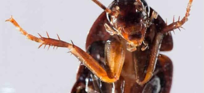 Чего боятся тараканы и что они не любят?