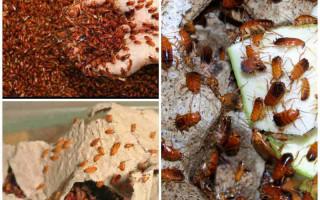 Особенности разведения и содержания туркменских тараканов