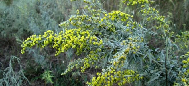 Трава от моли: виды, как выбрать?