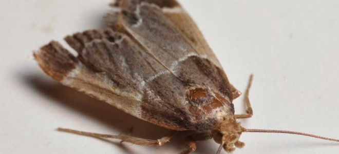 Виды моли в квартире: фото насекомого