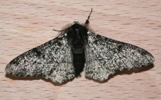 Черная моль в квартире: описание насекомого