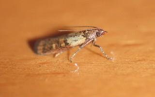 Как найти моль и её личинки в квартире?