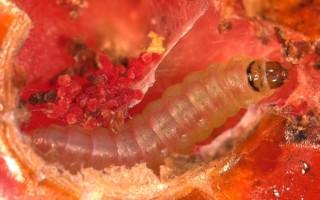 Кто такая томатная моль: внешний вид и борьба с ней