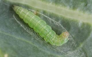 Как бороться с капустной молью?