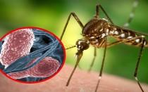 Малярийный комар и опасность для человека