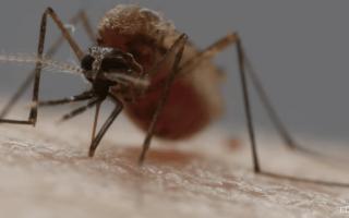 Почему комары пьют кровь: что делают комары с кровью?