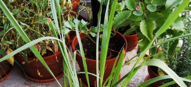 Какие растения отпугивают комаров и мошек
