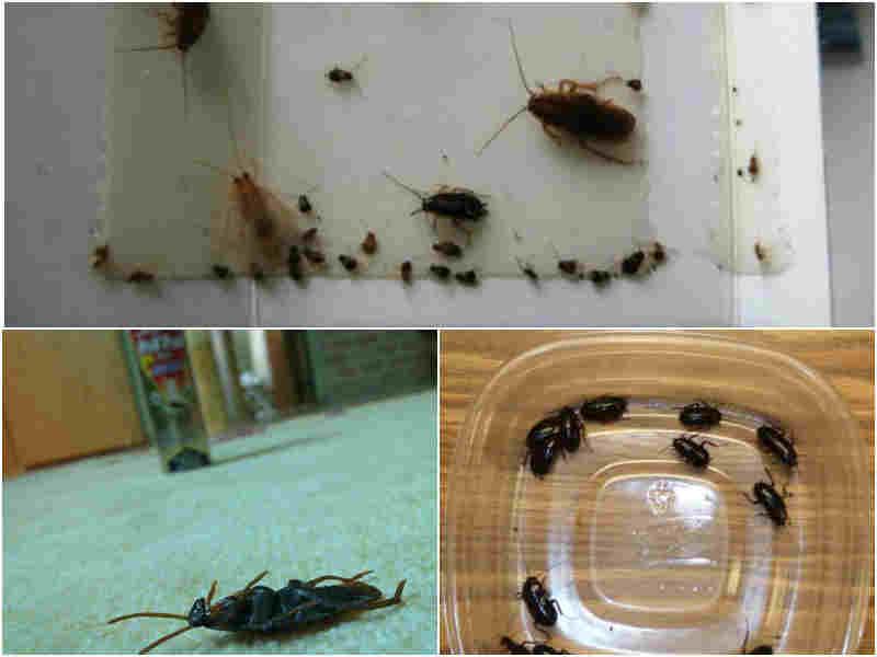 Чем избавиться от черных тараканов