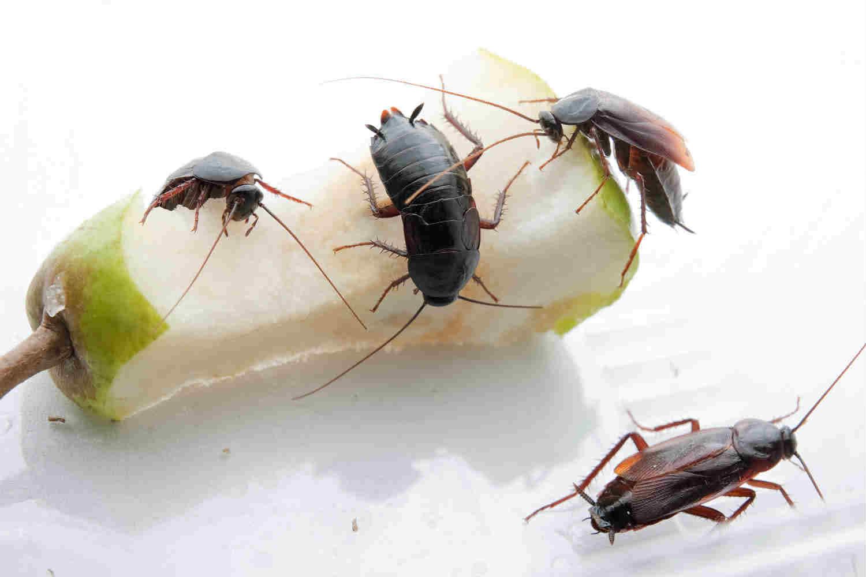 Как избавиться от больших чрных тараканов в квартире