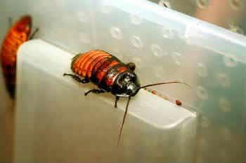 Мадагаскарский таракан домик