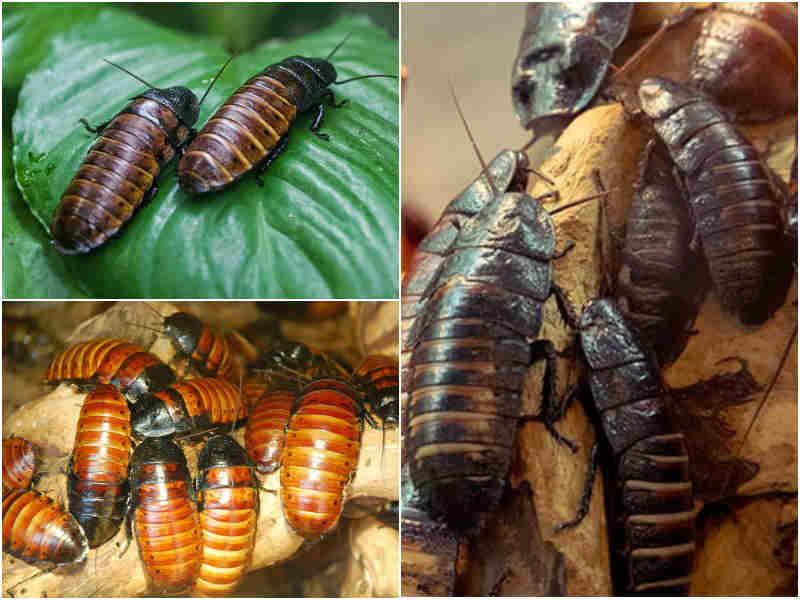 Мадагаскарский таракан и его обитание