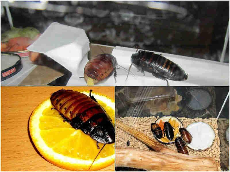 Мадагаскарский таракан питание