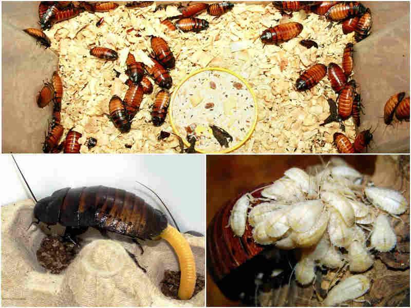 Мадагаскарский таракан разведение