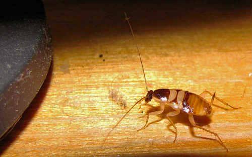 Мебельный таракан