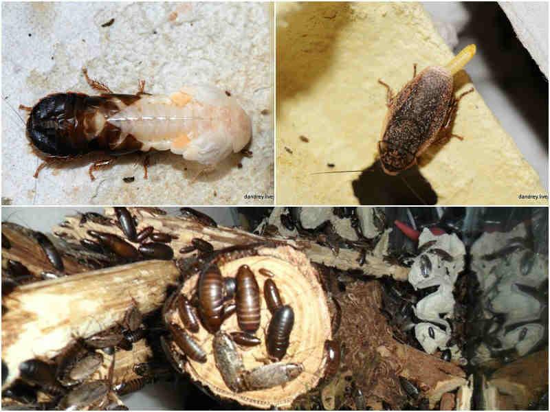 Мраморные тараканы содержание и разведение