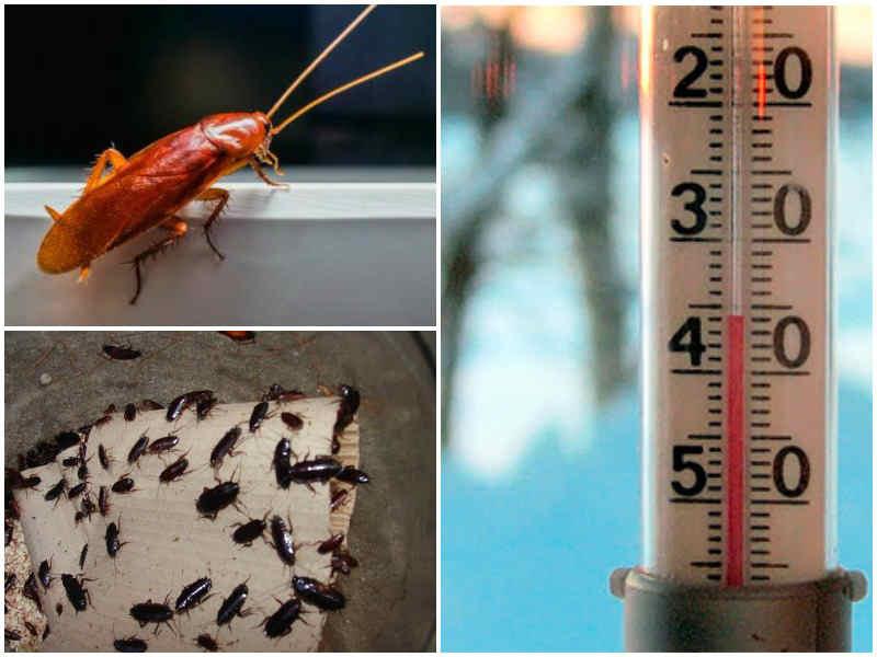При какой температуре погибают тараканы