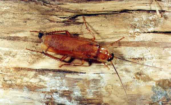Вьетнамские тараканы