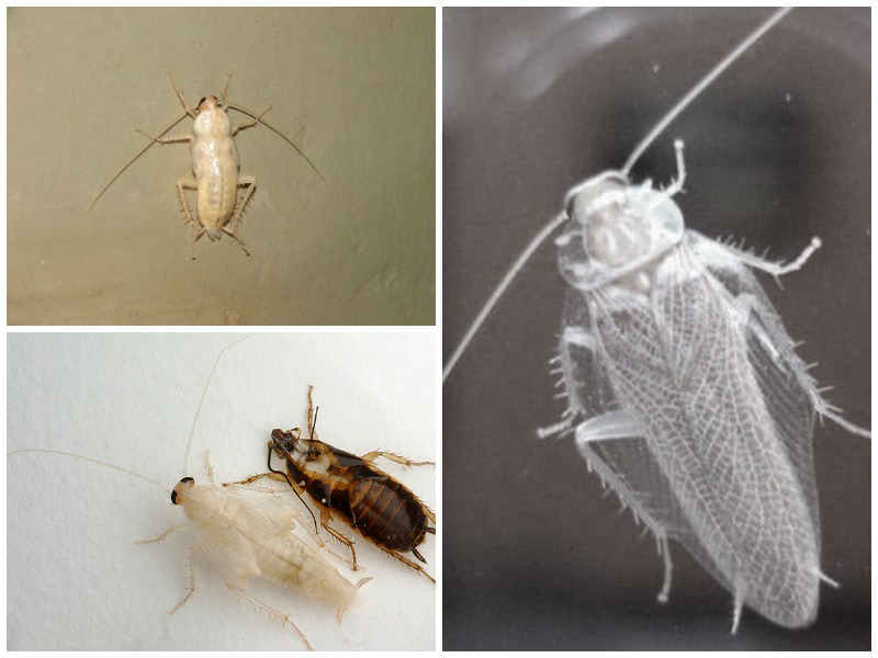 белые тараканы альбиносы