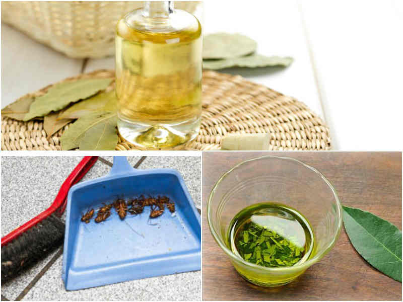 масло лаврового листа от тараканов