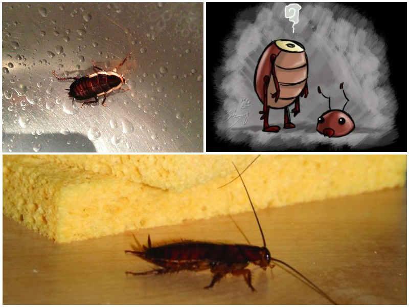сколько живут тараканы без головы