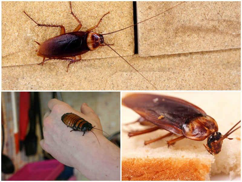 сколько живут тараканы домашние