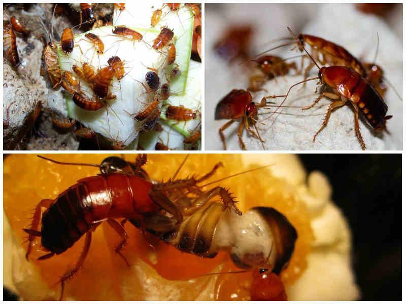 туркменский таракан кормление