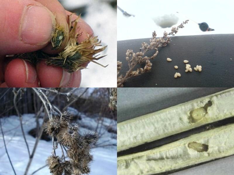 где искать личинки репейной моли