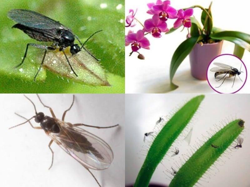 грибной комарик и биологическая характеристика