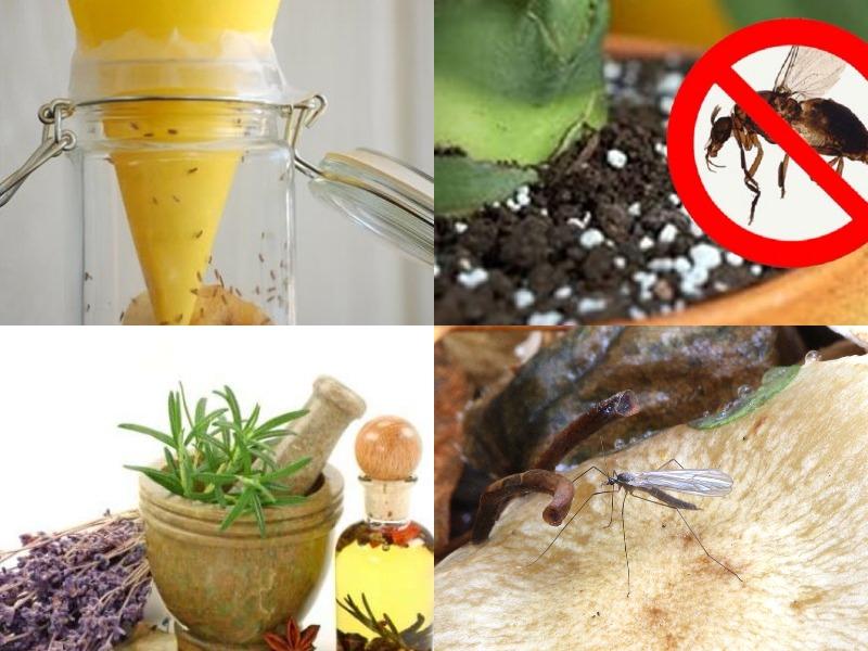 грибной комарик и народные средства