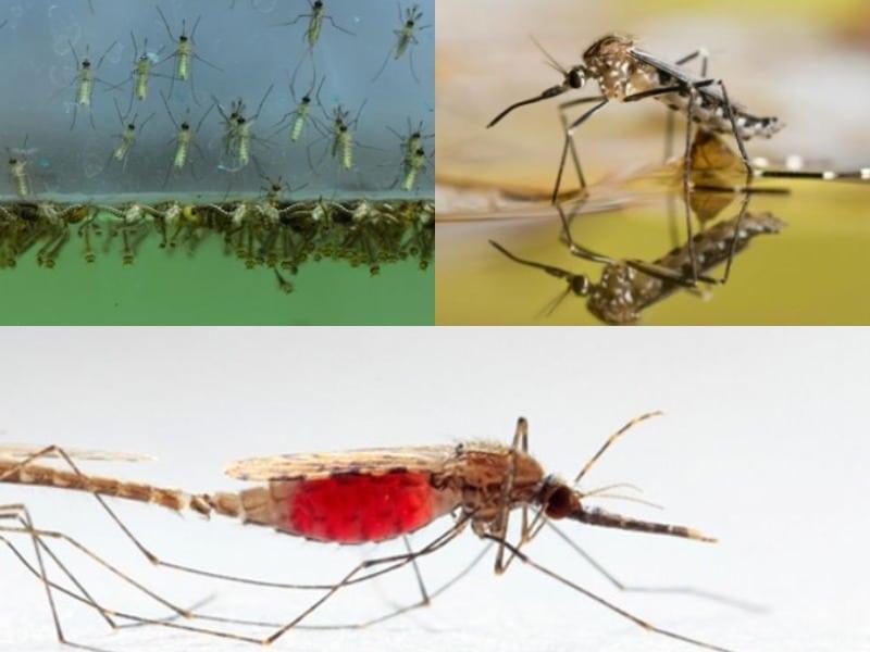 как размножаются комары обыкновенные