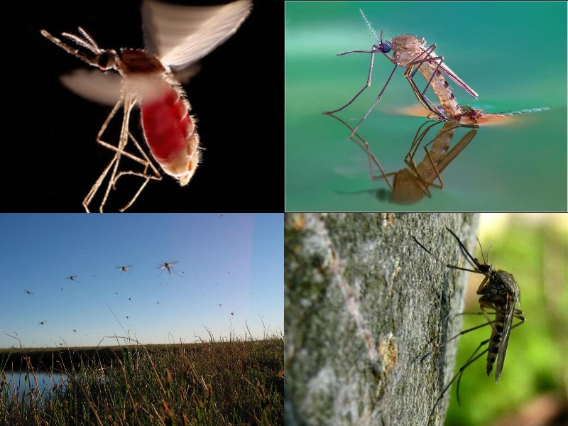 какую пользу комары несут