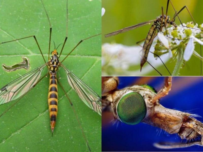 комар долгоножка внешний вид