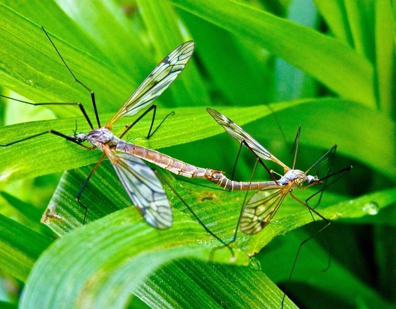 комар фото долгоножка