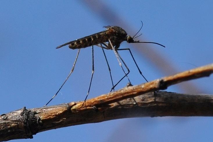 комар пискун