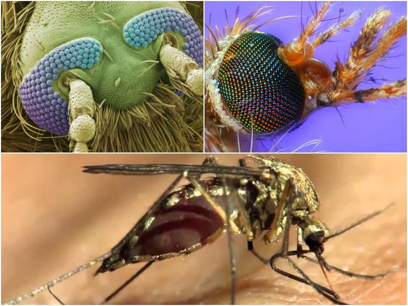 комар под микроскопом пьет кровь