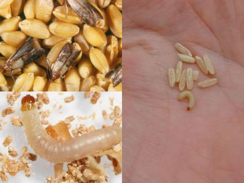 личинка пищевой моли