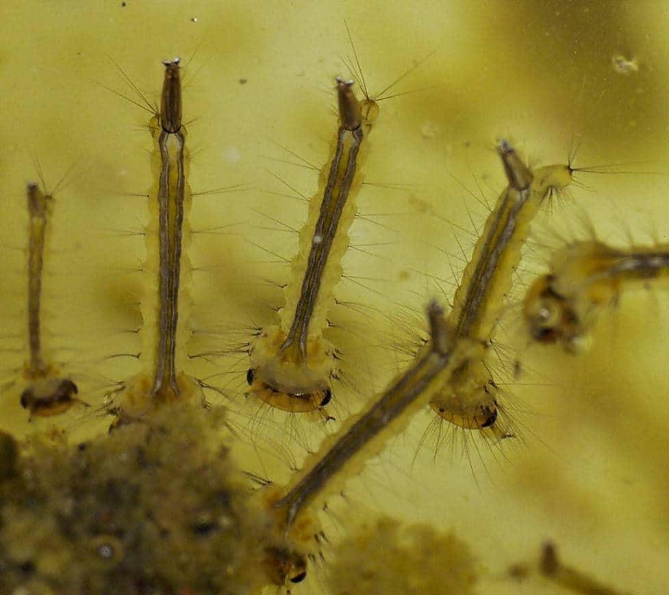 личинки комара звонца