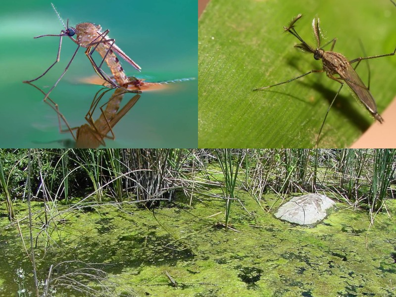 малярийный комар среда обитания