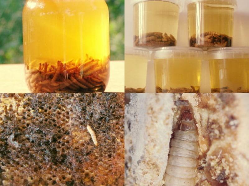 приготовление настойки из личинок восковой моли и спирта