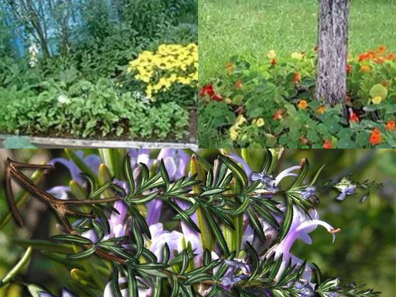 растения отпугивающие комаров или живые репелленты