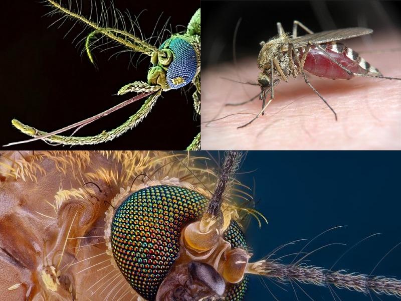 сколько зубов у комаров есть они или нет