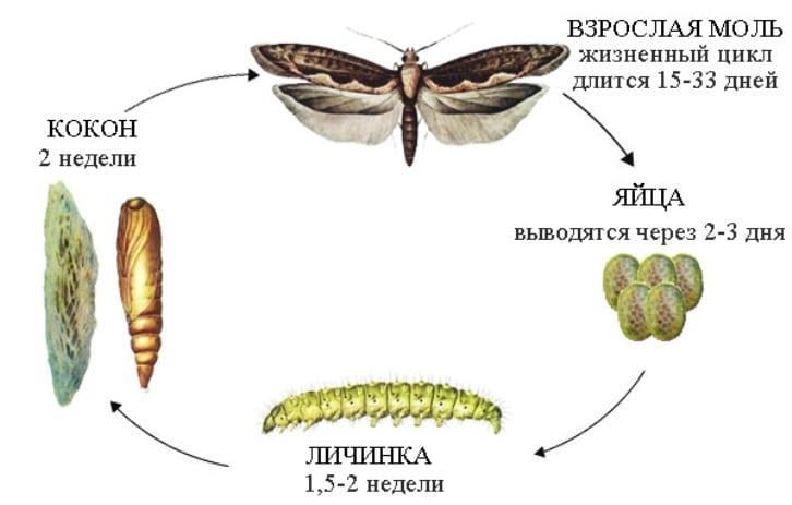 цикл размножения моли