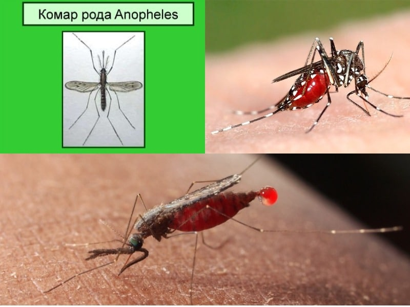 внешний вид малярийного комара
