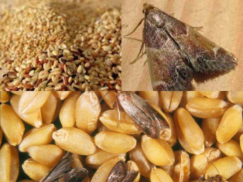 внешний вид зерновой моли