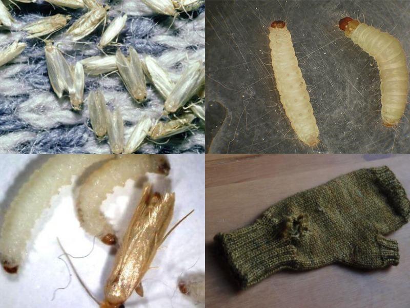вред от личинок платяной моли
