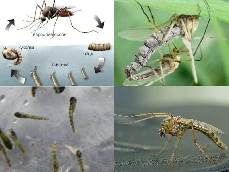 жизненный цикл комара звонца