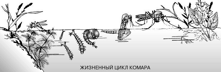 жизненный цикл комара